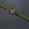 Stictopleurus punctatonervosus, June