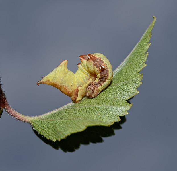 Notodonta sp larva,  September