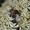 Misumena vatia with Cheilosia illustrata prey, June