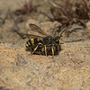 Cerceris rybyensis with bee prey, June