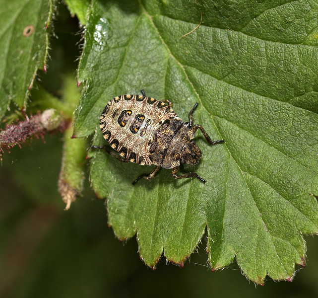 Forest Shieldbug - Pentatoma rufipes nymph,  June