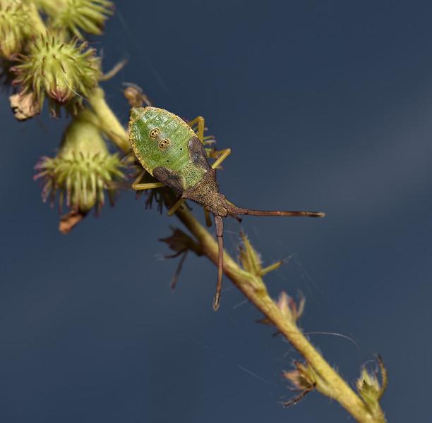 Box Bug, Gonocerus acuteangulatus nymph, August
