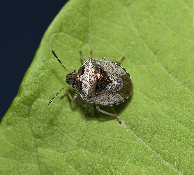 Woundwort Shieldbug - Eysarcoris venustissimus, August