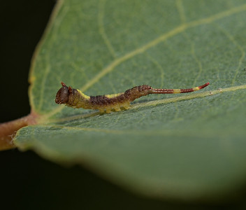 Puss Moth larva early instar, June