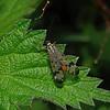 Panorpa communis male, May