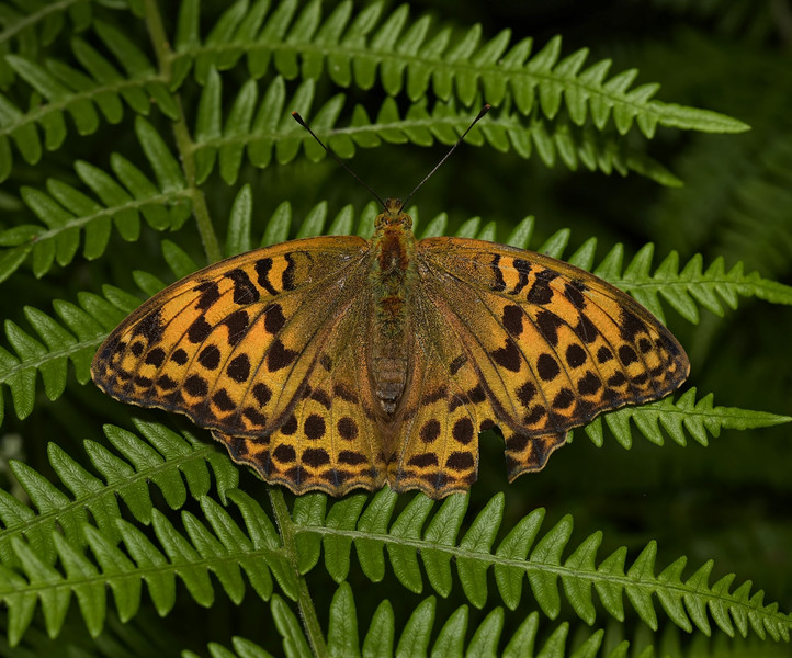 Silver-washed Fritillary, female, June