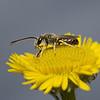 Halictus tumulorum male, September