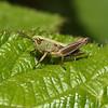 Meadow Grasshopper, Chorthippus parallelus nymph, June