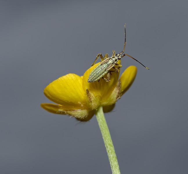 Leptopterna dolabrata nymph, May