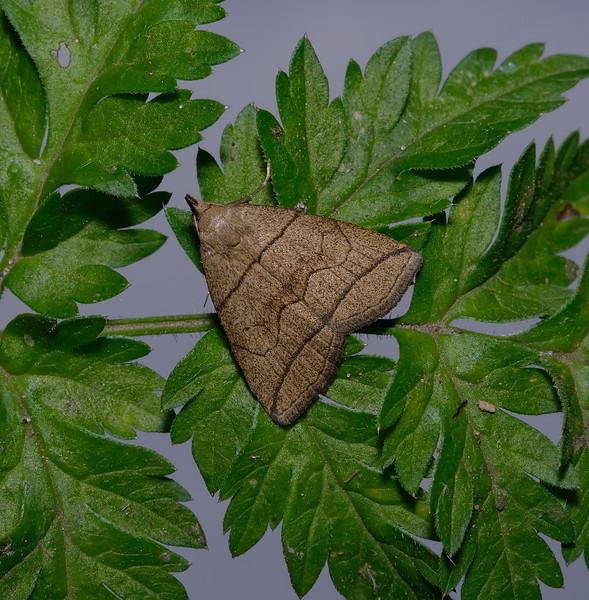 Small Fan-foot, Herminia grisealis, May