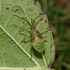 Box Bug, Gonocerus acuteangulatus nymph, September