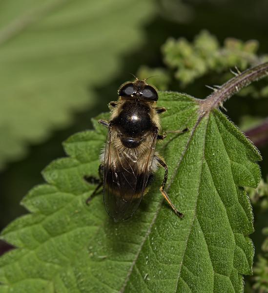 Cheilosia illustrata. July