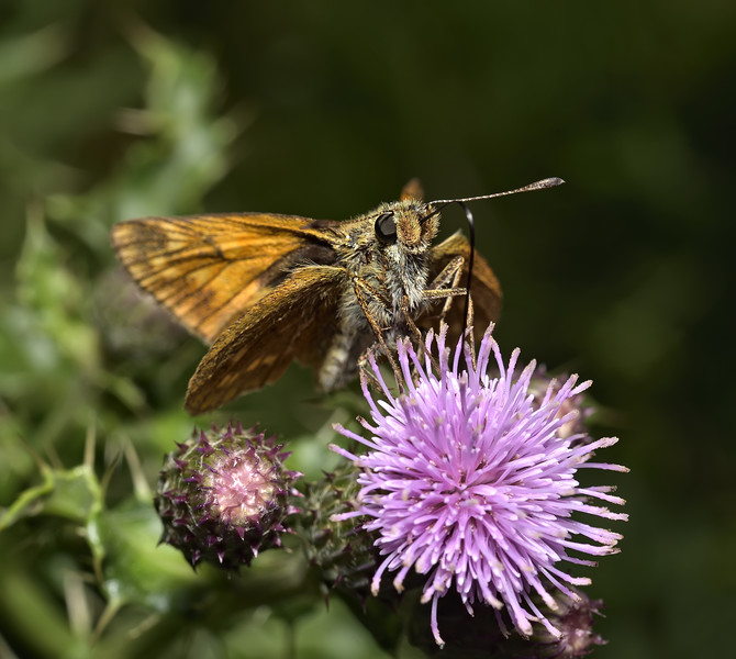 Large Skipper, July