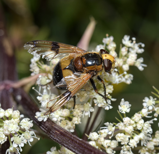 Volucella pellucens female, August