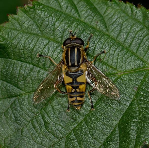 Helophilus sp female, September