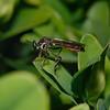 Dioctria sp. May
