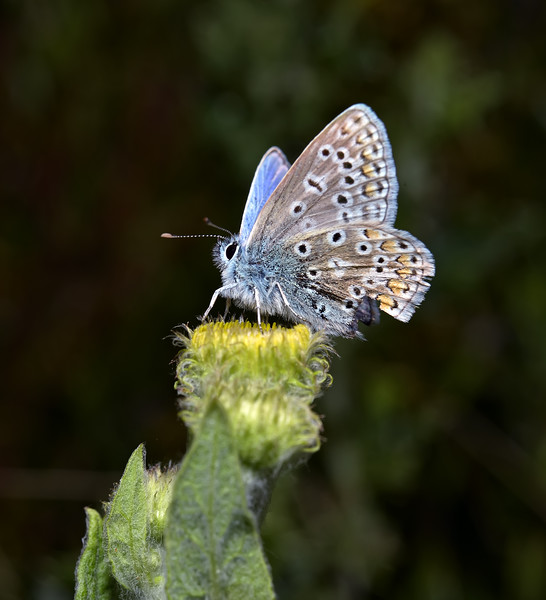 Common Blue, July