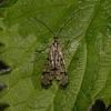 Panorpa communis female, May
