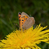 Small Copper, May