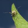Leptopterna dolabrata, June