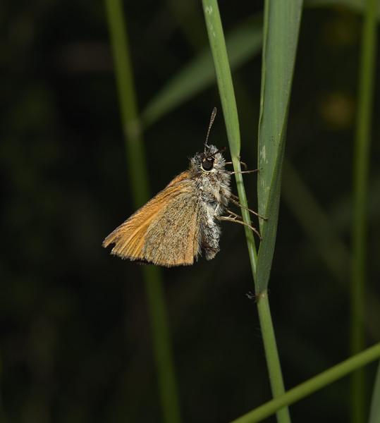 Small Skipper, July