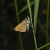 Small Skipper, July