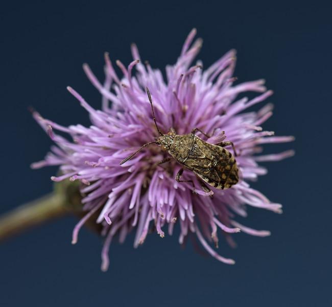 Stictopleurus punctatonervosus, July
