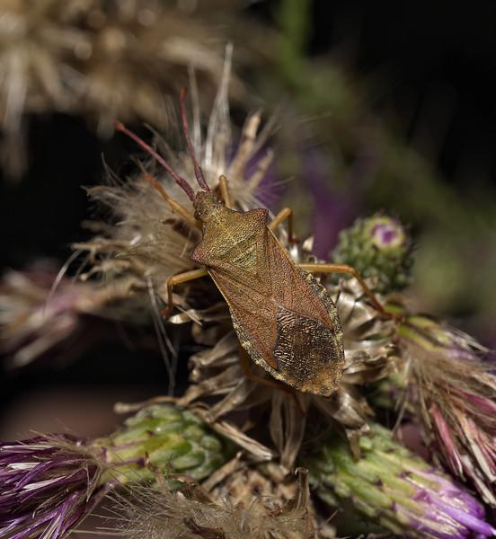 Box Bug, Gonocerus acuteangulatus, August