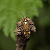 Rhabdomiris striatellus, June
