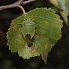 Green Shieldbug - Palomena prasina, September