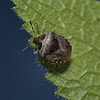 Woundwort Shieldbug - Eysarcoris venustissimus, June