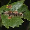 Vapourer moth larva, August