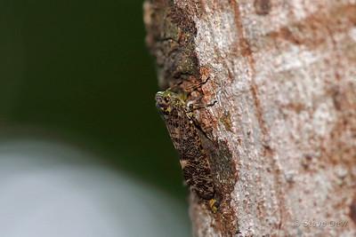Green-faced Gumhopper