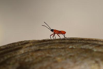 Bug Nymph