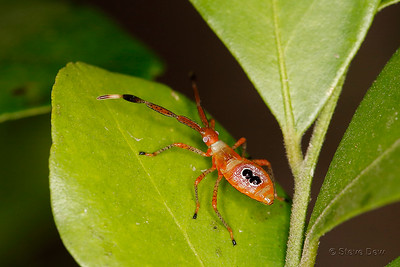 Fruit Spotting Bug