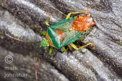 Shield bugs are also called stink bugs because they produce a foul odor to repel predators like birds.  Most suck the sap from plants,although a few species prey on other insects.