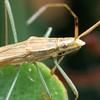 Mutusca brevicornis