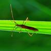 Leptocorisa acuta - Paddy Bug