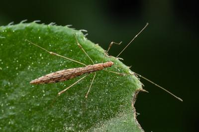 Berytidae - Stilt-legged Bugs