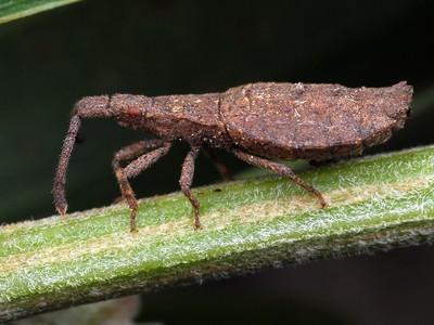 Coreidae - Leaf-footed Bugs