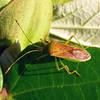 Amplypelta sp. - Fruit-spotting Bug adult