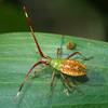 Amplypelta sp. - Fruit-spotting Bug early instar
