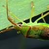 Amplypelta sp. - Fruit-spotting Bug late instar