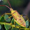 Amblypelta sp. (instar)