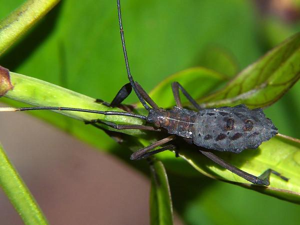 Canungrantmictis morindana early instar