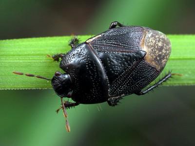 Cydnidae - Burrowing Bugs