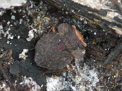 Gelastocoridae - Toad Bugs