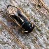 Geocoris sp. - Big-eyed Bug
