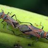 Arocatus rusticus