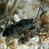 Euander lacertosus - Strawberry Bug